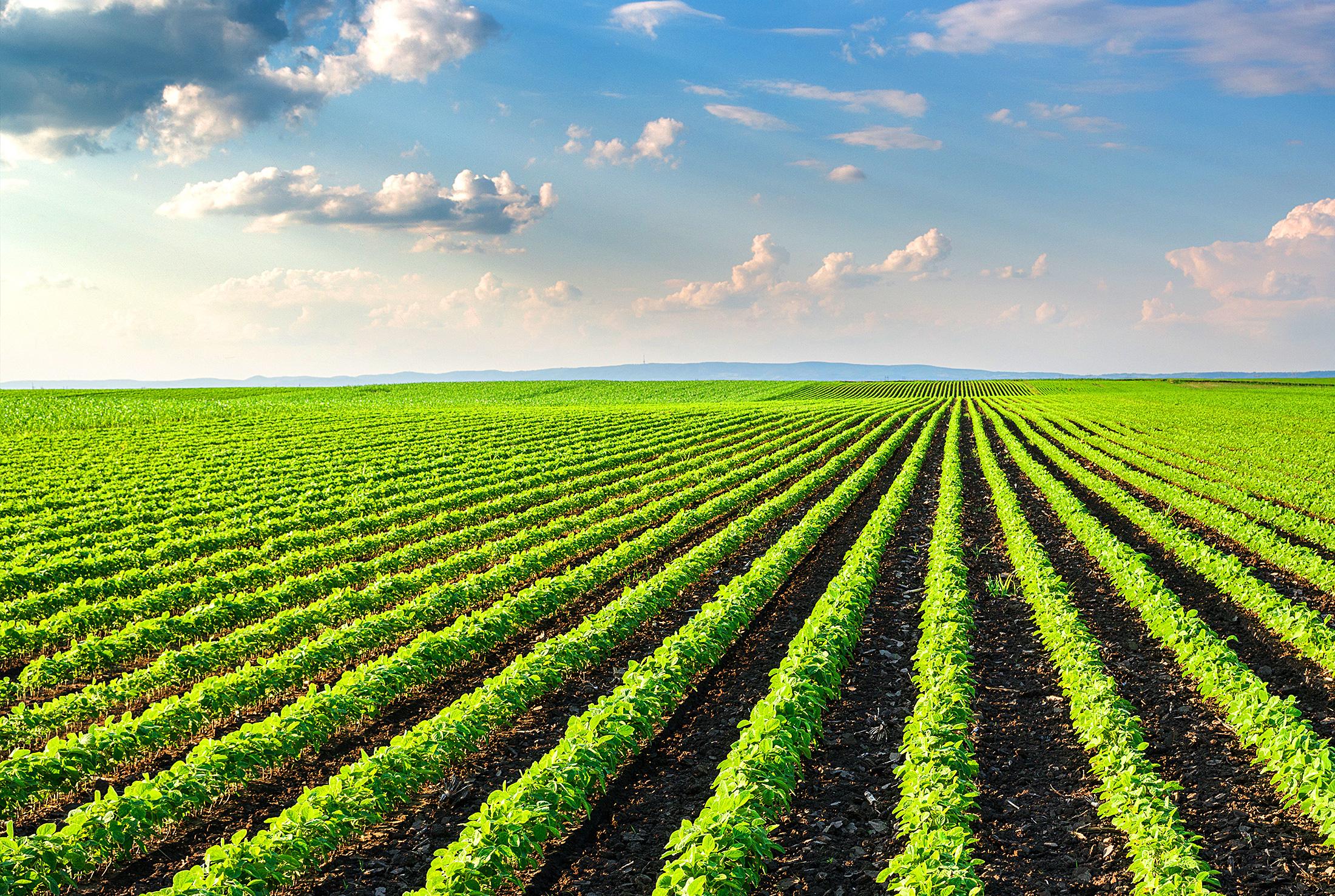 Красивые картинки соевого поля