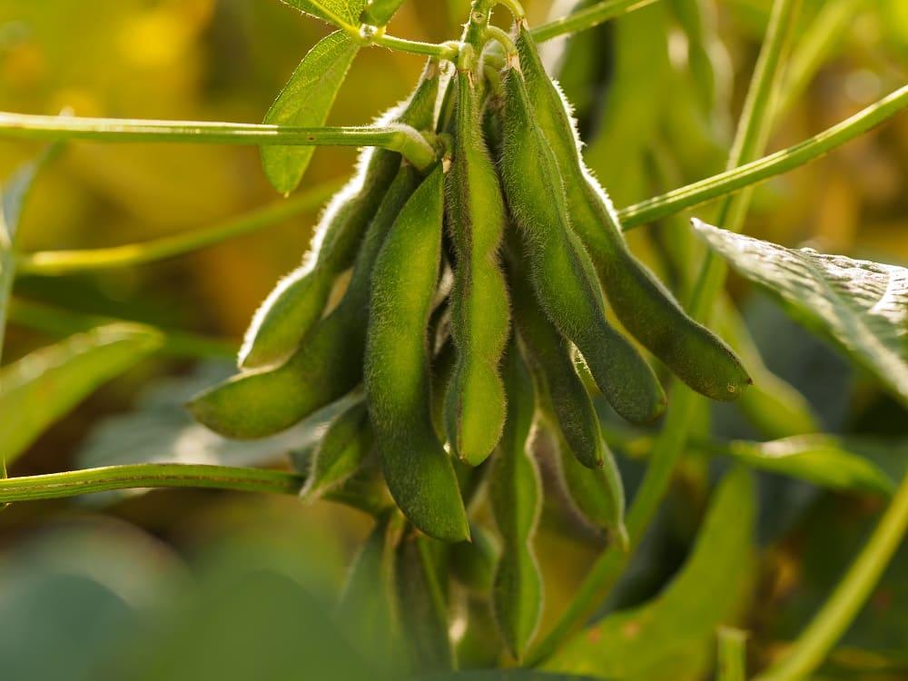 семена сои выставка ЮГАГРО