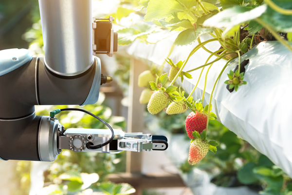 Automated greenhouse system harvesting strawberries