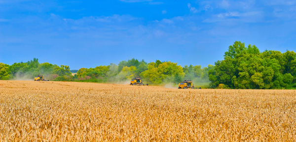 Russian combines harvesting wheat in a field