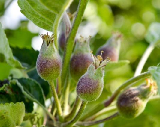 регулятора роста для садов